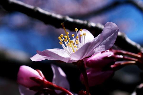 去年桜.JPG