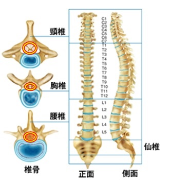 脊柱1-2.jpg